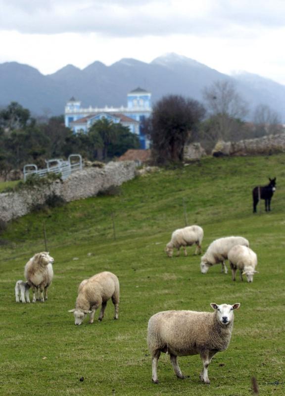 Ovejas de una ganadería con la Quinta Guadalupe al fondo